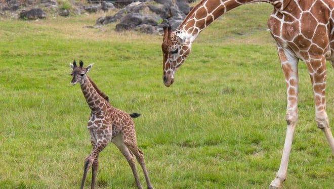 A small giraffe calf made its first public appearance on Tuesday.