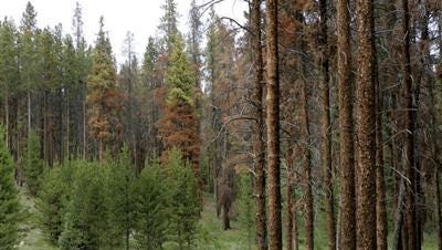 The devastation caused by spruce beetles across Colorado forests accelerated for a fourth consecutive year, according to a new survey, while the once widespread infestation of pine beetles has largely subsided.