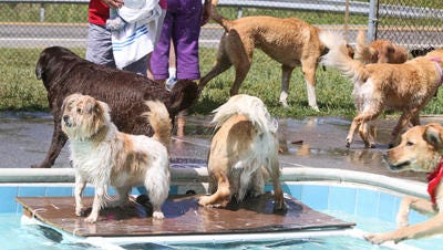 Pooches play in the pool at Greenburgh's annual dog swim at AF Veteran Park