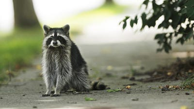 A raccoon, similar to this one, was found to test positive for rabies in Middlesex Borough, according to health officials .