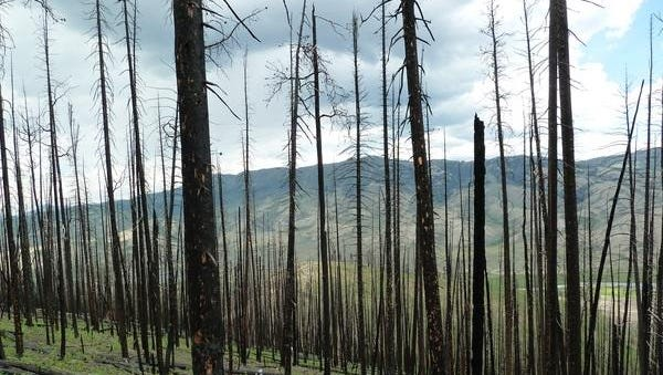 Following wildfires in 2011, a research team studied lodgepole pine trees in the Northern Rockies to examine whether earlier outbreaks of beetles changed the ecological impact of the wildfires.