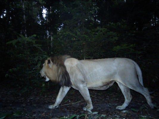 West Africa Vanishing Lions