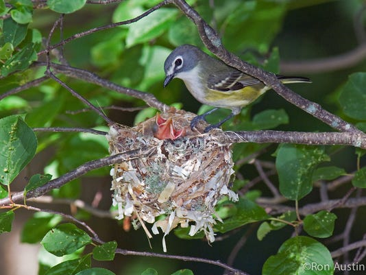 Blue-headed Vireo, Vireo solitarius, adult at nest, n Michigan, USA, June