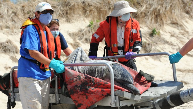 Staff and volunteers with the International Fund for Animal Welfare responded to a mass dolphin stranding Sunday afternoon at The Gut in Wellfleet. The agency responded to additional reports of stranded dolphins on Monday, four of which either died or had to be euthanized.
