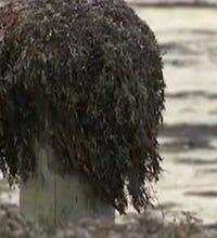 Harvesting Galveston's seaweed crop