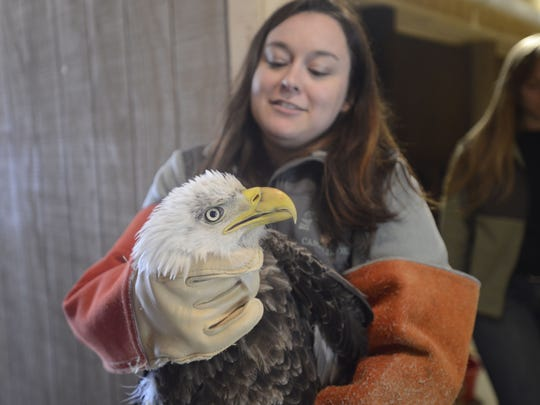 Heather Yount, manager at Back to the Wild, transports a male Bald Eagle to the veterinarian. The eagle was injured in a territorial fight in Huron County and taken in by the staff at the wildlife rehabilitation center in Castalia.