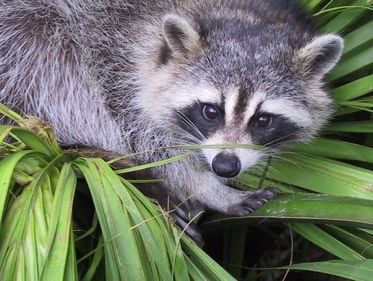 636441304577454808-raccoon.jpg