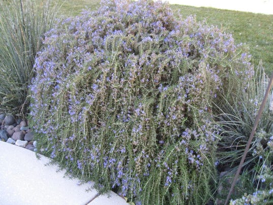 get to know the many varieties of rosemary