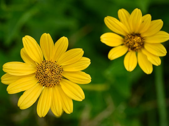 Bright yellow wildflowers are in full bloom Wednesday, July 19, at Realife Cooperative at Mueller Gardens in St. Cloud.