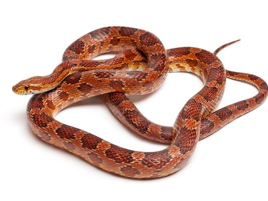 #stockphoto Red Rat Snake Stock Photo