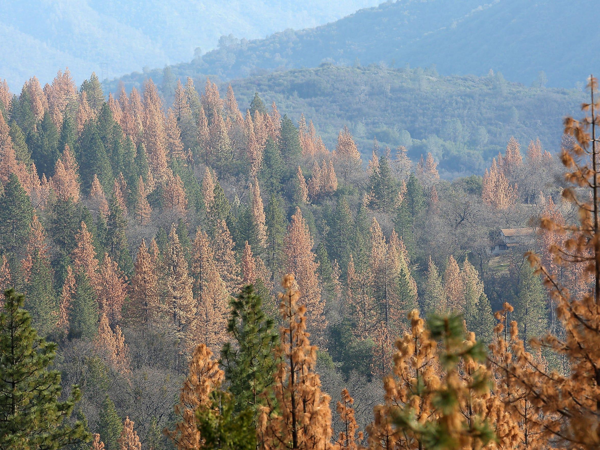 Portions of the Sierra National Forest are filled with dead and dying ponderosa pines. Warm winters and severe drought have enabled bark beetles to flourish in forests across California, leaving vast areas in the mountains covered with orangish-brown dead trees.
