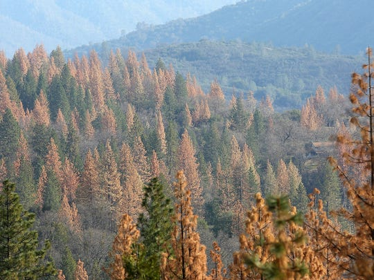 Dead and dying trees in the Sierra National Forest are characterized by a red or orangish hue. The lack of water makes it harder for the trees to fight off beetle infestation, which makes them more vulnerable to wildfires.