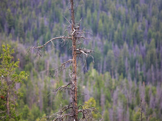 In this Friday, July 14, 2017, photo, a snag of tree stands before a hillside left in the wake of an infestation of the Mountain Pine Beetle near Frisco, Colo. (Hugh Carey/Summit Daily News via AP)