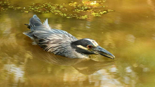 """A yellow-crowned night heron, shown in the water, is a """"life bird,"""" or first sighting for the author."""