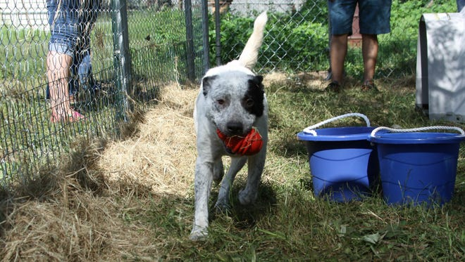 A dog plays with a ball after fencing was installed by VOCAL's Breaking the Chains program.