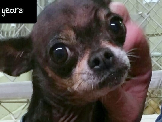 This tan and black Chihuahua mix is 6 years old. She was found in the 500 block of Linda Vista. For more information about adopting a Pet of the Week or other furry friends visit Alamogordo Animal Control, 2910 N. Florida Ave., Monday through Saturday between noon and 5 p.m. or contact them at 439-4330.
