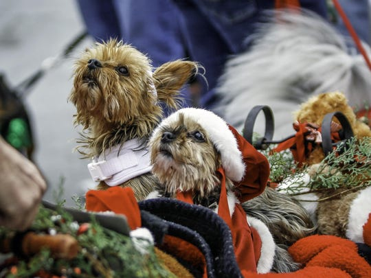 Twinkie and Daisy peek out from their basket as they get ready for the annual Reindog Parade in Mount Adams.