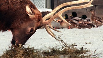 A North American Elk takes lunch while mallards wander by at the Milwaukee County Zoo in this photo taken Feb. 1, 2000.