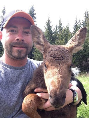 Sioux Falls native Josh Hohm takes a selfie with a moose calf that wandered up to him on Memorial Day in the Gallatin National Forest near Yellowstone Park.