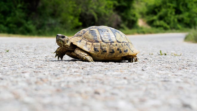 If you come across a turtle in the road while driving, the turtle may benefit from a helping hand.