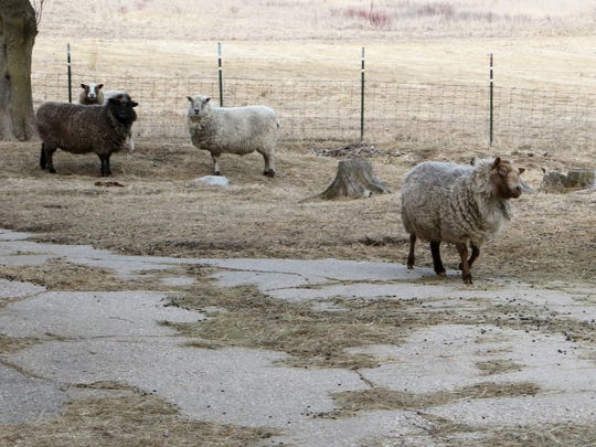 Peanut, a blind sheep, makes her way across the barnyard to find out who is visiting Blind Faith Farm in Ixonia while the rest of the sheep stay back to observe from a safe distance.