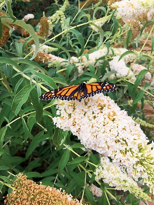 Pictured is a beautiful monarch butterfly released at an event at The Nest, courtesy of Ruidoso Hospice Foundation.