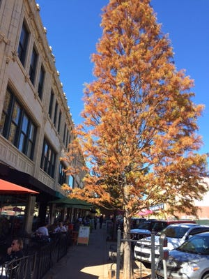 Bald cypress trees are planted around the Grove Arcade.