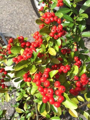 Firethorn's colorful berries look great in the garden or used in arrangements indoors.