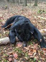 685 pound bear killed in Letterkenny Township, the second largest harvested in Pennsylvania on the first day of bear season.