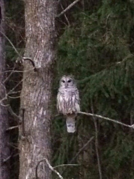 Maywood-Owl-2.jpg