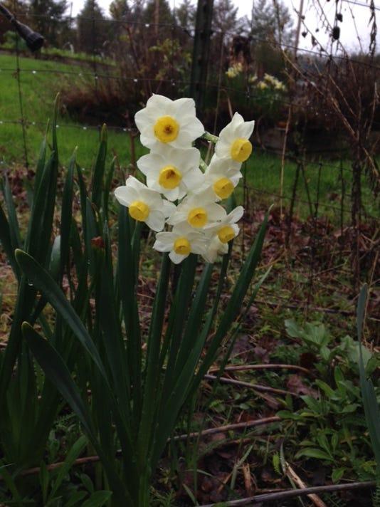 635933209650998020-daffodils.JPG
