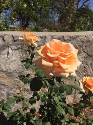 The El Paso Municipal Rose Garden is in bloom and visitors will get a chance to see the flowers during a public tour on Saturday.