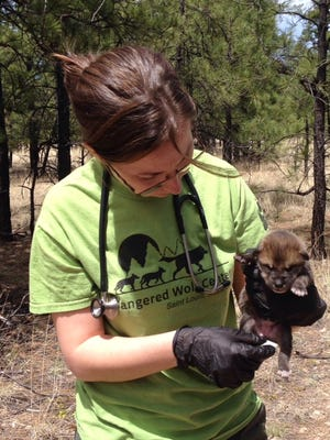 This April 2016 photo provided by Endangered Wolf Center shows Regina Mossotti, director of Animal Care and Conservation at the Endangered Wolf Center in Eureka, Mo., administering a checkup on a pup named Vida. Federal wildlife officials say they have, for the first time, successfully integrated wolf pups raised in captivity with a wild litter in New Mexico.