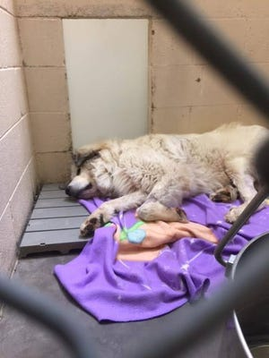Marshall faces a long journey to recovery after being shot. He was taken in by Big Fluffy Dog Rescue in Nashville.