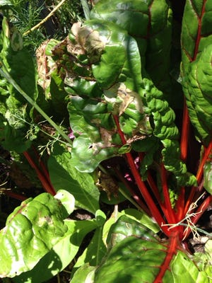 This Swiss chard leave is damaged by leafminers, which burrow inside the leaves of chard, beets and spinach. They are tough to control.