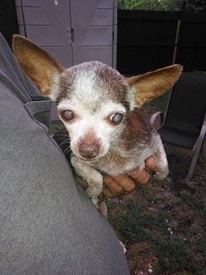 This elderly blind chihuaha was found near Golden Gate Estates.