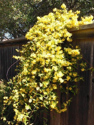 Ted Buss/Special to the Times Record News A Carolina jessamine (jasmine) is a popular vine for North Texas, best suited for trellises and fences. It blooms profusely in mass yellow flowers. It is a hearty medium green vine that does well in six hours of direct sunlight.