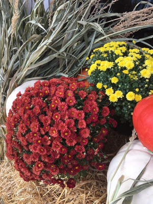 Mums are a popular choice as decorative plants in the fall and winter.