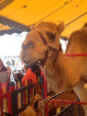 A camel at the Meadowlands State Fair.