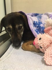A terrier hound mix named Pandy was found