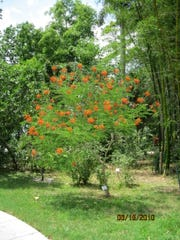 """Edison planted numerous exotic trees throughout """"his jungle"""" as he called it. A dwarf poinciana tree is pictured."""