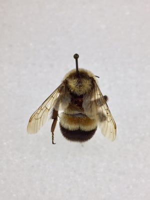 The rusty patched bumble bee was recently placed on the endangered species list. Though once abundant in Great Smoky Mountains National Park, not one has been seen in more than a decade.