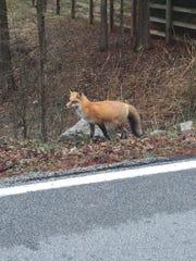 Sarah Bowman photographed the fox a few months ago