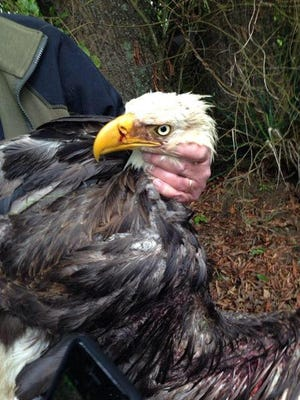 A bald eagle found in Sevierville is being treated at the University of Tennessee School of Veterinary Medicine.