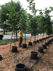 Steve Addeo prunes one of the  newly planted trees.