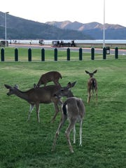 Deer at Shasta Dam near the visitors center, a fixture since the 1950s.