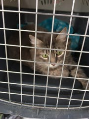 Moani was rescued from a local hoarder's house. She is a young adult cat who is social and affectionate. Raining Cats N Dogs adoptions include spay/neuter services, vaccines and vetting as needed. Call 232-6299. Go to http://rainingcatsndogs.rescuegroups.org.