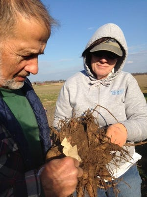 Michael Hoepf and June Gebhardt survey a freshly dug dahlia cluster which will have to be cleaned before it is stored.