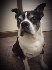 Julie and Scott Ward's Boston terrier, Toby.