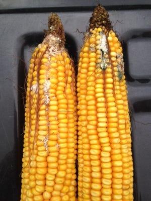 Mycotoxin evidence on corn in Kansas, U.S., in 2016